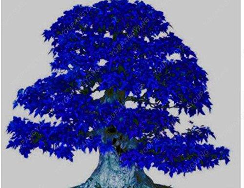 50 pcs / sac japonais Graines de Maple Maple Leafs de Toronto arbre Graines vivaces plantes ornementales Feu d'érable Bonsaï Jardin Plante jaune