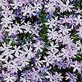 Teppichphlox, Phlox subulata 'Emerald Cushion Blue' von VDG-Stauden - Du und dein Garten