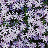 Teppichphlox, Phlox subulata 'Emerald Cushion Blue'