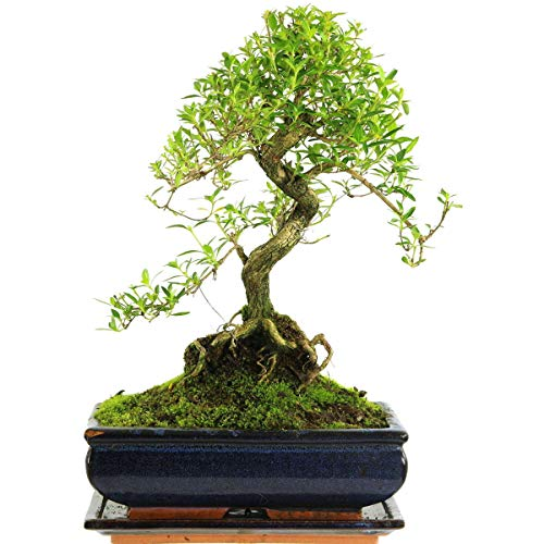 Junischnee, Bonsai, 11 Jahre, 38cm
