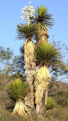 Riesen Spanish Dagger Yucca carnerosana @ Samen saftig selten Aloe Agave 30 SEEDS