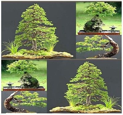 (20) Jezo Spruce abies jezoensis Graines d'arbres - PERFECT BONSAI JAPONAIS