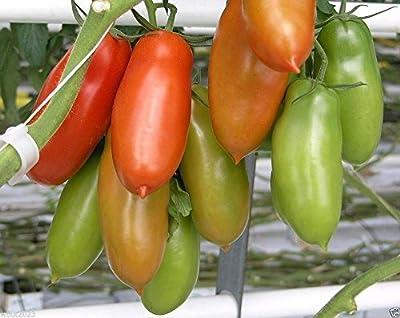 San Marzano Tomaten, bekannt als die größten 'Sauce' Tomaten in der Welt-50 Samen! von SVI bei Du und dein Garten