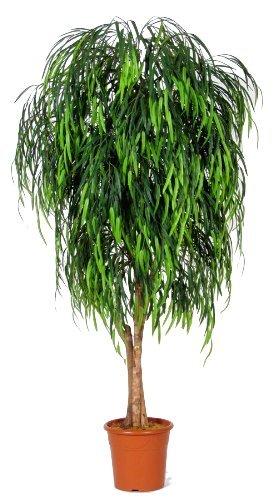 Salice Willow - Albero Artificiale Da Arredo Esterno Resistente Ai Raggi UV - Con Tronchi Veri - Alto 175 cm
