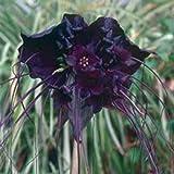 Portal Cool 5 Black Bat Blume Fledermausblume Katze Whiskers Teufel Blumensamen Kämme/H