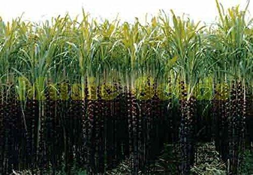 1bad = 100 graines de sucre de canne Rare Graines de fruits et de légumes pour pot de fleurs Pots de croissance rapide pour la maison et le jardin de plantes