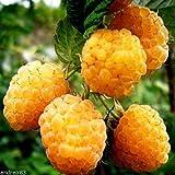 Portal Cool Himbeeren Gelbe Himbeere Berry Seeds Zheltaya 10 Samen S0611