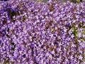 Hängeglockenblume 'Trollkind' - Campanula poscharskyana 'Trollkind' von Native Plants von Native Plants bei Du und dein Garten