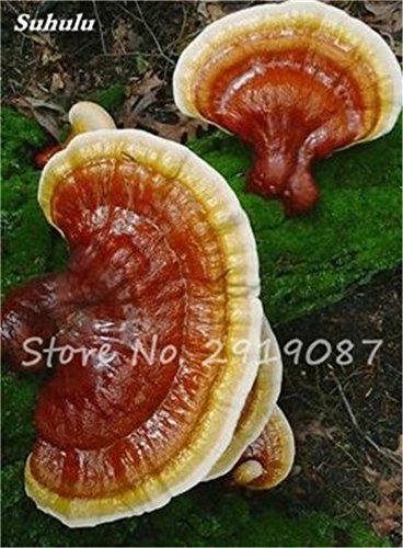 Nouveau 50 Pcs Ganoderma Graines Reishi Champignons Graines Graines de légumes biologiques pour jardin plantes non Ogm 6