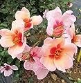 'Smiling Eyes' (R), Persica-Beetrose im 4 Liter Container, ADR-Rose von Rosen-Union bei Du und dein Garten