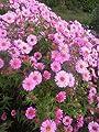 Aster novae-angliae 'Rosa Sieger' - Im 1 lt. Rundtopf von Pöppel Stauden - Du und dein Garten