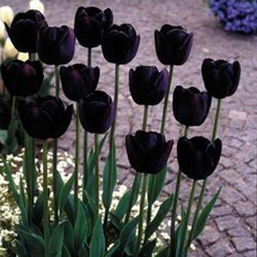 Tulip Bulbs BULB027