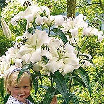 100 / sac blanc péruvien Lily Graines péruvienne Lily Mix (Alstroemeria) Graines de fleurs vivaces pure Bonsai plantes pour jardin Gris clair