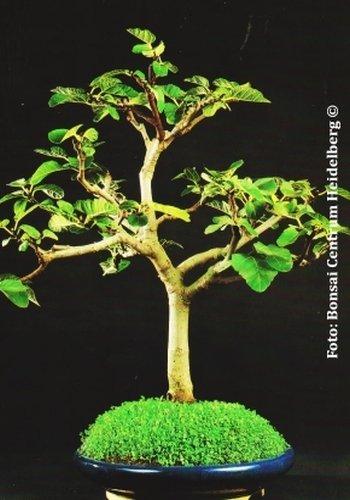 TROPICA - Fico comune (Ficus carica) - 100 Semi- Bonsai