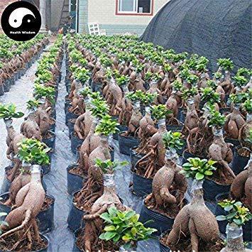vegherb Kaufen Ficus Microcarpa Baumsamen 200Pcs Pflanzenwurzeln Ginseng Ficus Bonsai