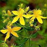 MEIGUISHA Gartensamen-500 PCS Selten Das echte Johanniskraut hypericum perforatum globuli Zier-/Arzneiplanze Sorte Topaz Samen