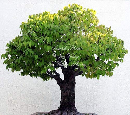 Portal Cool Las semillas japonesas gris corteza de olmo liso tronco caída espectacular de color Zona 5+ Bonsai