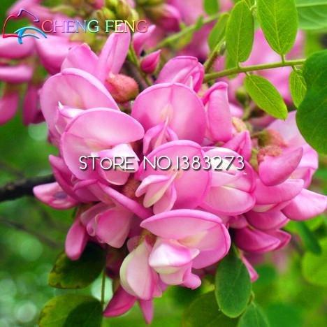 raras-semillas-de-oro-mimosa-bellas-semillas-de-acacia-baileyana-amarillo-de-la-flor-del-zarzo-rbol-