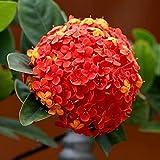 Semillas de Hortensia Semillas de Flores para Decoracion Hogar y Jardin 4 Colores Disponible Pack de 20 granos