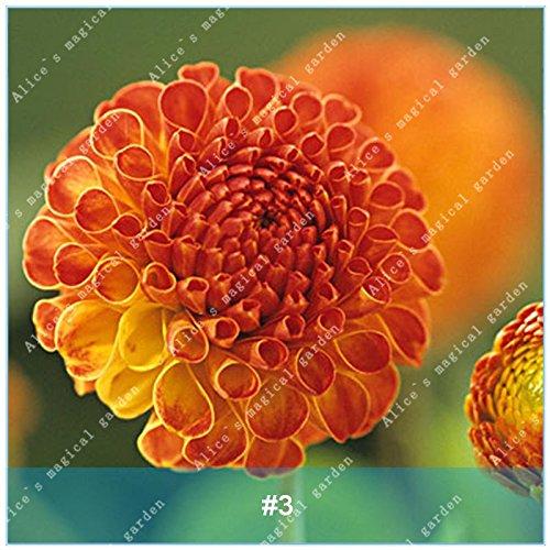 Galleria fotografica ZLKING 2 Pz cinese dalia Bonsai lampadina non Dahlia Semi facile da coltivare Bella Alto Tasso di germinazione di semi di piante in vaso 3