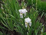 PLAT FIRM GERMINATIONSAMEN: Iriswurzel Iris 4