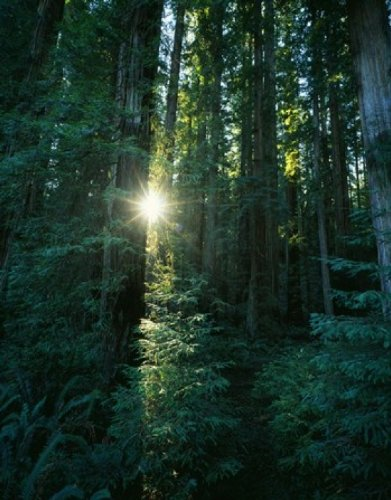 The Poster Corp Panoramic Images - Low angle view of sunstar through redwood trees Jedediah Smith Redwoods State Park California USA. Photo Print (47,63 x 60,96 cm)