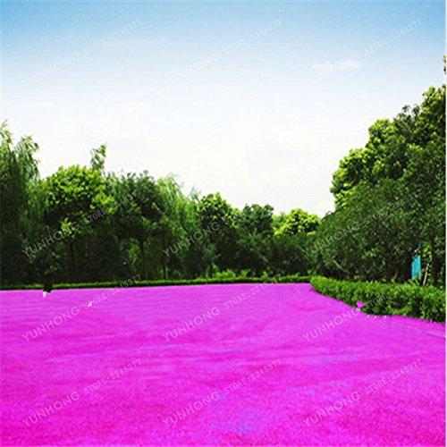 500 Pcs Rare Blue Grass Seed Graines à gazon Fleurs vivaces Jardin Terrains de soccer Villa Haute GradeOutdoor Graine de plantes 2