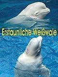 Erstaunliche Weißwale
