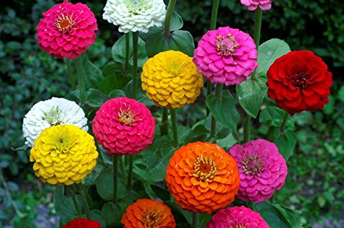 Zinnia Elegans Lilliput Mix Samen, NON-GMO, Sortengrößen, (200 Samen) -