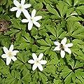 """Anemone nemorosa"""" Buschwindröschen"""" (20 W.-St.) von Das Blumenliesel bei Du und dein Garten"""