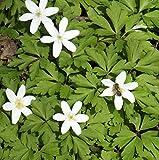 """Anemone nemorosa"""" Buschwindröschen"""" (20 W.-St.)"""
