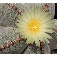 Astrophytum myriostigma tamaulipense seeds