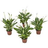 Grünpflanze - Spathiphyllum Chopin