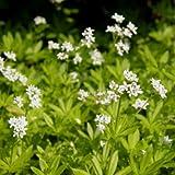 lichtnelke - Waldmeister (Asperula odorata / Galium odoratum )