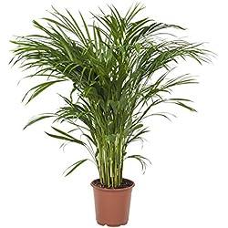 FloraAtHome - Grünpflanze - Areca-Palme/Dypsis - Goldfruchtpalme - 100cm hoch