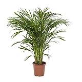 FloraAtHome - Plante verte - Areca/Dypsis lutescens - Palmier multipliant - 100cm env.