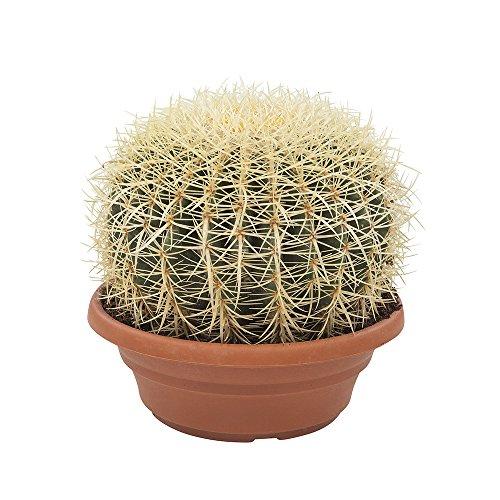 BOTANICLY   Zimmerpflanze - Schwiegermutterstuhl oder Goldkugelkaktus   Höhe: 30 cm   Echinocactus grusonii
