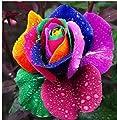 Lamdoo 60 Stücke Regenbogen Rose samen Blumensamen Holland Regenbogen Rose Samen Für Zuhause Gartenarbeit (Bunte) von Lamdoo auf Du und dein Garten