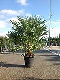 1 Riesige Palme Chamaerops humilis Vulcano Frostharte Zwergpalme bis - 13 Grad. Gesamthöhe:140-150cm