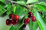 Prunus 'Kordia' - (Süßkirsche 'Kordia')- Containerware Busch 2 jährig