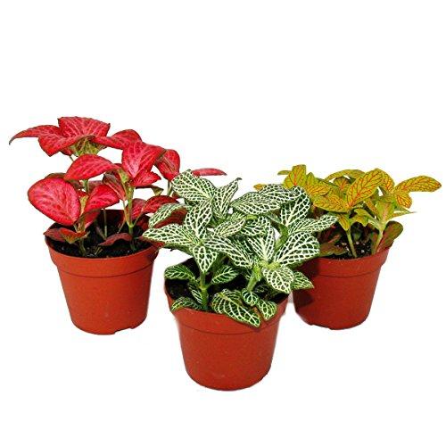 Set mit 3 verschiedenfarbige Fittonia -Pflanze, Silbernetzblatt, Mosaikpflanze, 9cm Topf