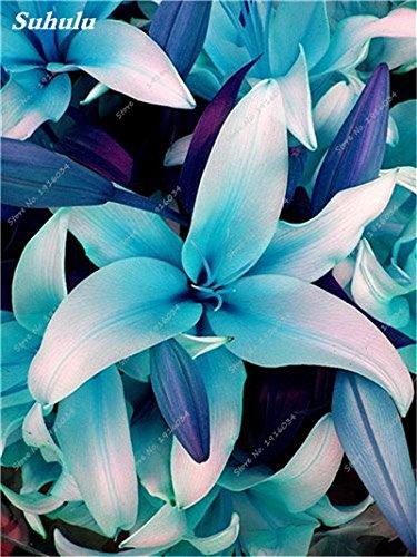 50 Pcs parfum Lily Graines, Graines de plantes d'intérieur, Germination Fleur 99% Creepers Bonsai Bricolage Fournitures Jardin Pots Planters 12