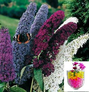 grow-your-secret-garden-fragrant-butterfly-bush-buddleia-davidii-50-seeds