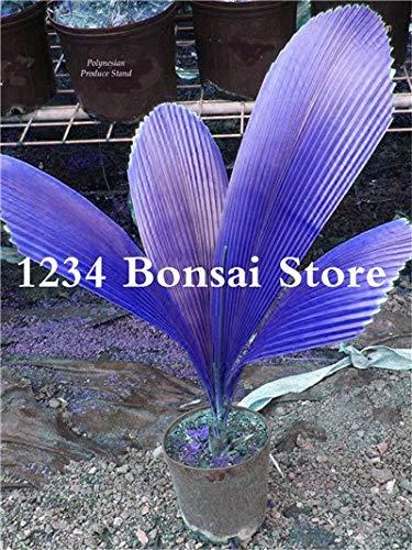 Bloom Green Co. 50 pcs/sac rouge Palmier Bonsai Plantes exotiques Bonsaï Pots Plante ornementale ropical Balcon pour jardin Easy Grow: 12