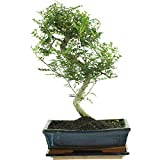Pfefferbaum, Bonsai, 11 Jahre, 41cm