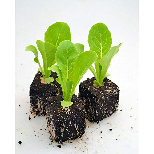 Gemüsepflanzen - Römersalat - Römersalat - Lactuca sativa var. longifolia - Asteraceae - 6 Pflanzen