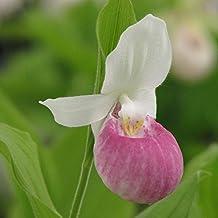 Hardy Orchid Cypripedium reginae
