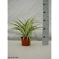 """Spider Plant """"Chlorophytum Comosum Variegatum"""" in 12 cm Pot"""