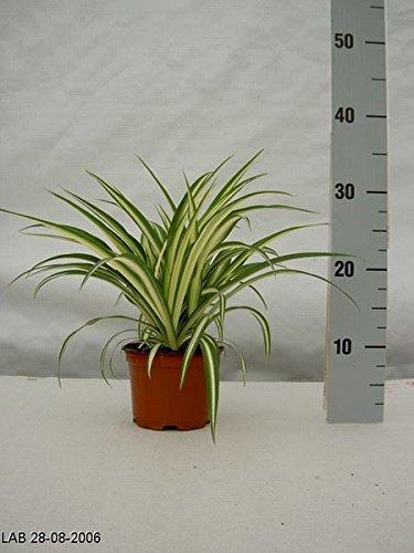 spider-plant-chlorophytum-comosum-variegatum-in-12-cm-pot