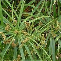 Cyperus alternifolius seeds